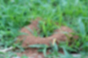fire ant mound.jpg