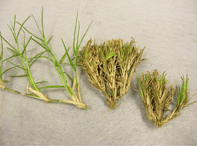 Bermuda Mite Grass- Witch Broom.png