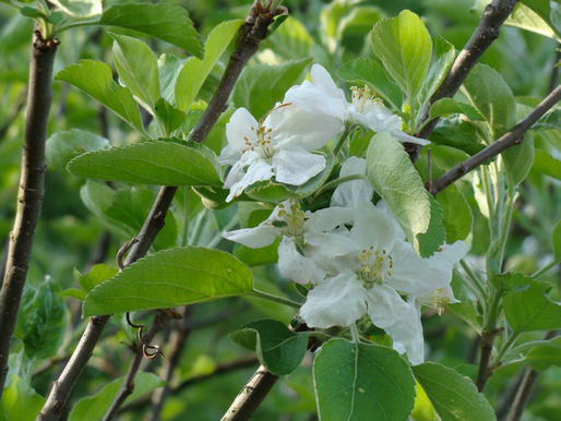 APPLE BLOSSOM TIME - May 25, 2018