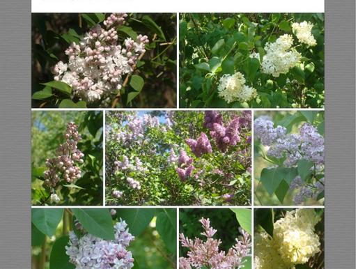 Luscious Lilacs June 14, 2015