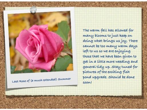 The Last Rose of Summer October 31, 2015