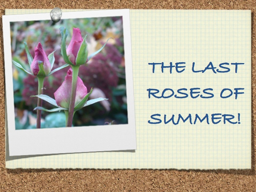 The Last Roses of Summer October 20, 2014