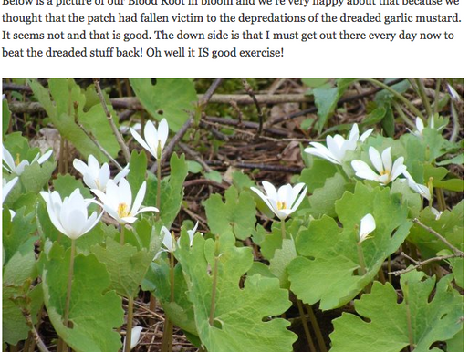 Blood Root in Bloom! May 7, 2013