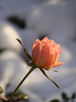 The very Last Rose of Summer November 23, 2016