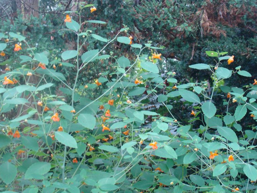 Update from the Garden- Jewel Weed and Friends, August 23, 2017