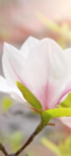 magnolia flower in spring_edited.jpg