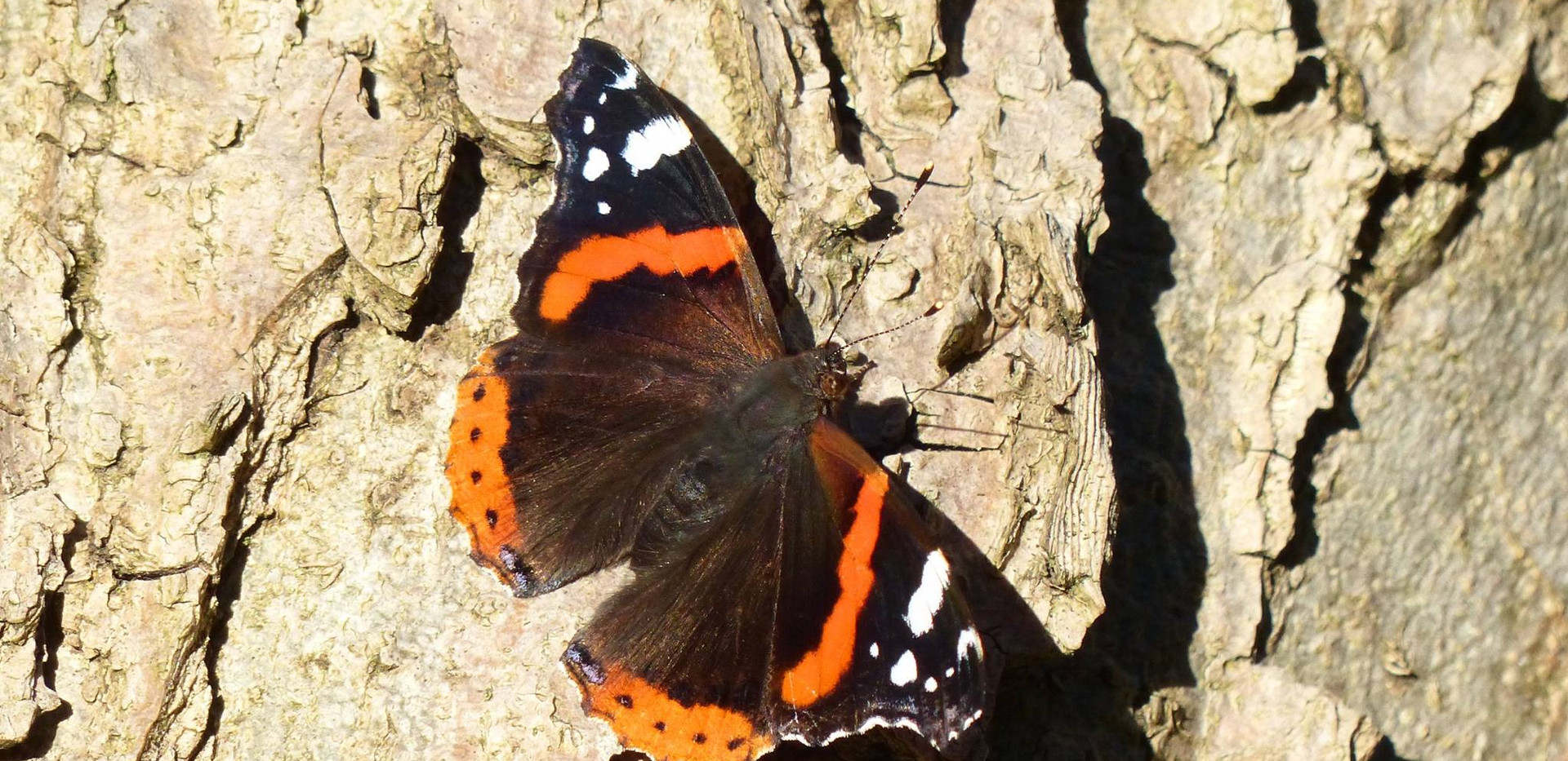 Papillon Vulcain (Vanessa atalanta)