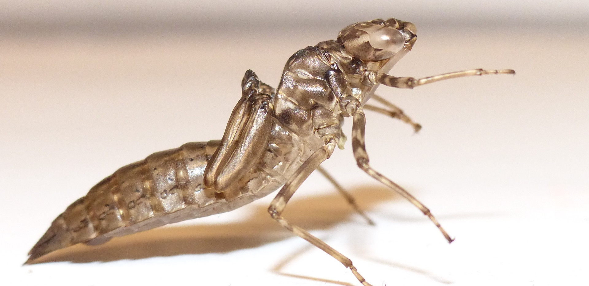 Exuvie de larve de libellule