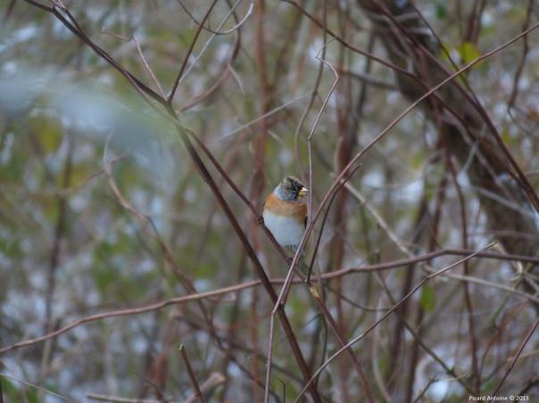Pinson du Nord (Fringilla montifringilla)