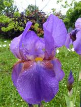 Iris April Fog