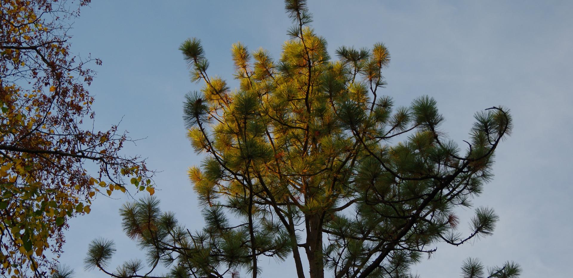 Pin de Jeffrey (Pinus jeffreyi)