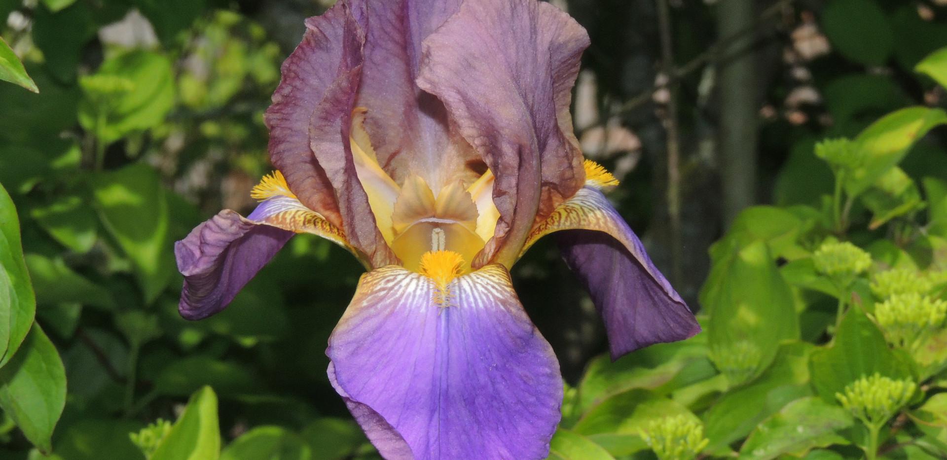 Iris Hay Magic