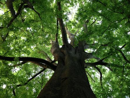 Faux-Orme de Sibérie (Zelkova carpinifolia)