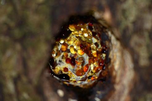 Sève d'arbre dans une cavité de pic