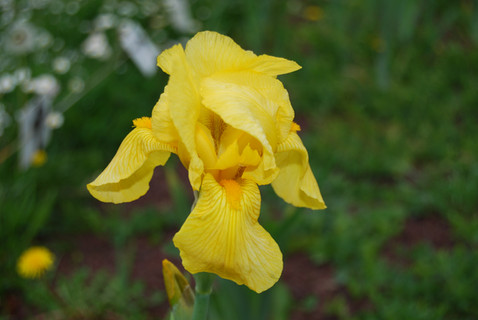 Iris Fidelking