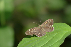 Papillon Tircis (Pararge aegeria)