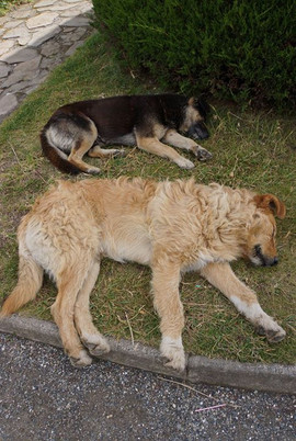 Dogs sleeping in Chile