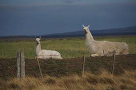 Llamas in Chile