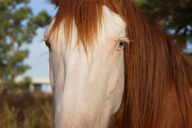 Horse in Argentina