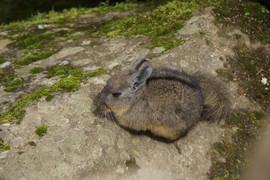 Viscacha in Peru