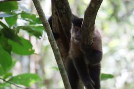 Lounging monkey in Brazil