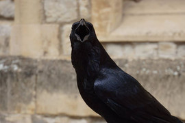 Raven in England