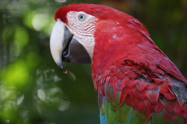 Red Macaw's in Brazil Zoo
