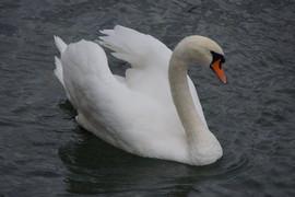Swan in Switzerland