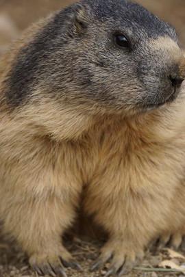 Marmot in Switzerland