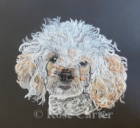 Carter - poodle marked .jpg