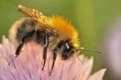 Laten we wat bijleren van de meer bescheiden bijen