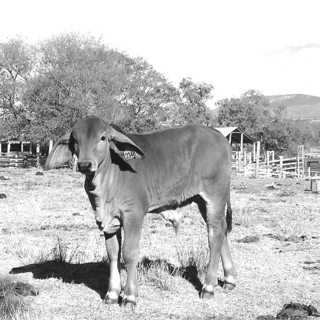 calf bw.JPG