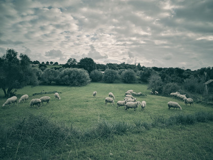 Sheep At The Meadow