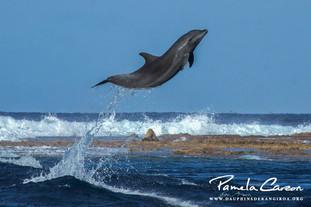 Grand dauphin à Tiputa