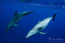 Dolphins in Rangiroa