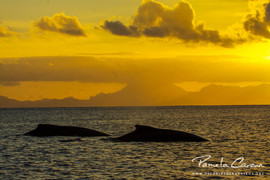 Humpback whales in French Polynesia