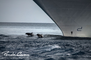 Leaping bottlenose dolphins