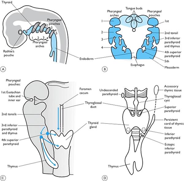 Thyroid Embryology