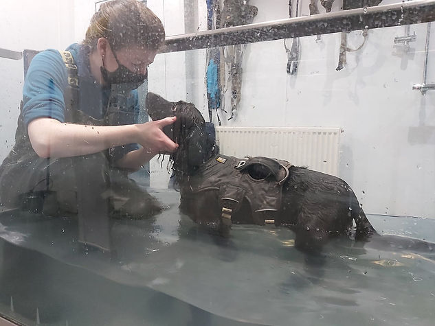 Underwater treadmill hydrotherapy for dogs