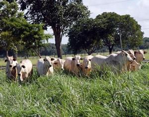 Manejo correto garante maior produção de carne