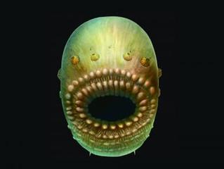 Pequena criatura marítima é o mais antigo ancestral do ser humano