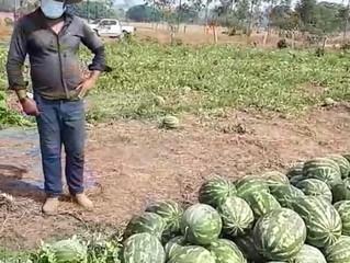 Em Alvorada do Oeste agricultor colhe mais de 27 toneladas de melancias em 1/2 hectare de terra