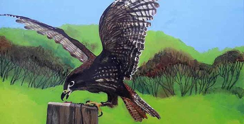 Kahu (New Zealand Falcon)