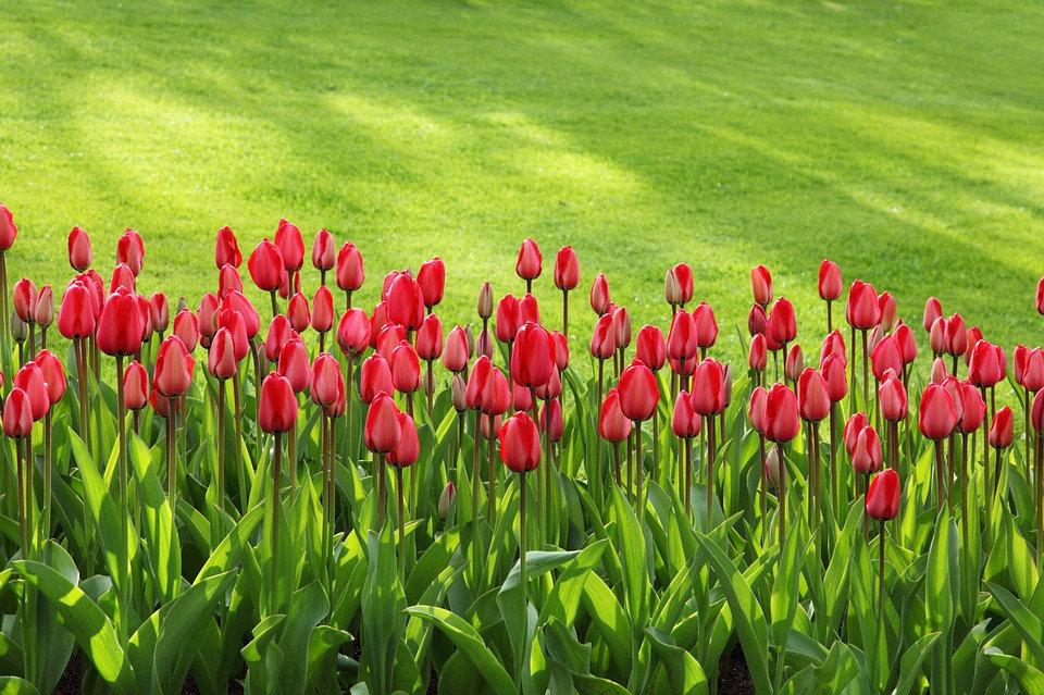 tulips-21620_960_720.jpg