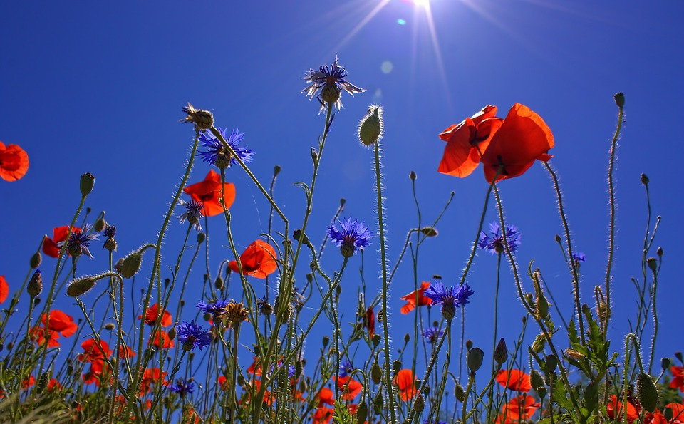 field-of-poppies-807871_960_720.jpg
