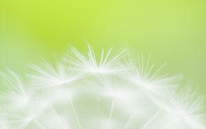 WIX FLOWER DANDELION SOFT FOCUS.jpg