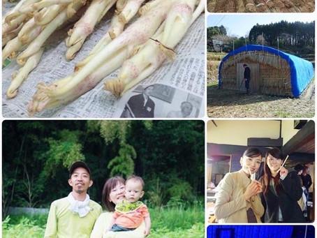【 感動の三島独活(ウド)】 江戸時代の伝統農法を守る 最後の一軒