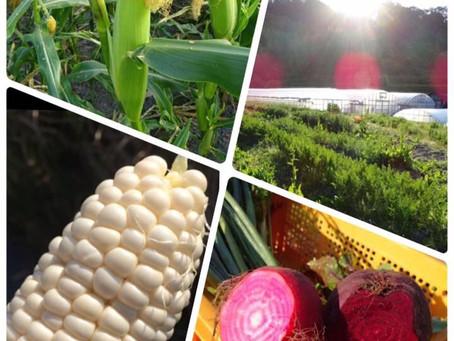 【 AM5:30  キラキラ輝く農園へ🌽 】 〜 白いとうもろこし ホワイトショコラ〜