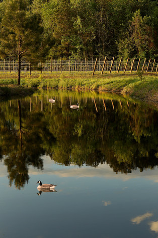 Hush, Listen and Discover the Magic Alongside The Williamsburg Winery Duck Pond