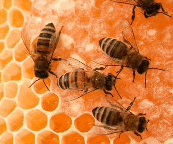 bees+on+honeycomb.png